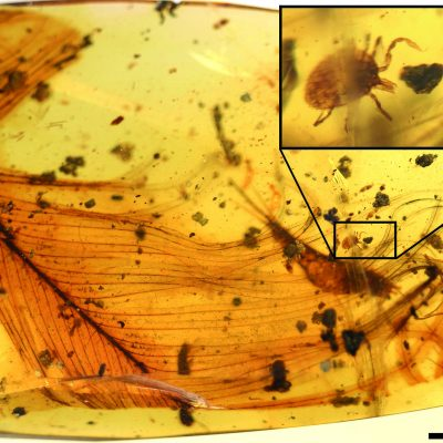 Ticks That Fed on Dinosaurs Found Trapped in Amber