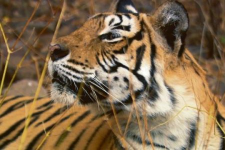 The True Story of Machli, the World's Most Famous Tiger