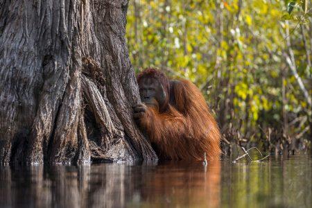 This Striking Orangutan Photo Highlights a Grim Reality