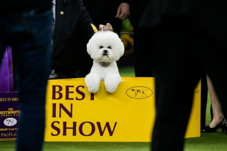 Flynn, a Bichon Frisé, Tops a Strong Field for Best in Show at Westminster