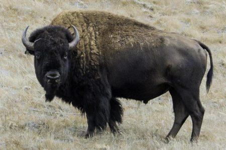 Buffalo gores camper in Southern California