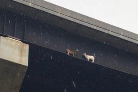 Pennsylvania state crews rescue goats stranded on bridge beam