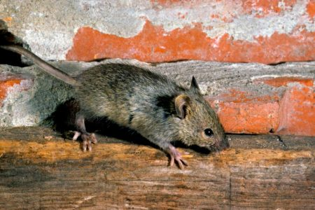 New viruses, superbugs found in study of New York house mice