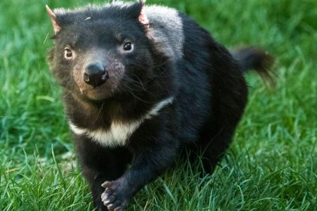 Newly discovered Tasmanian devils are free from disease ravaging the species