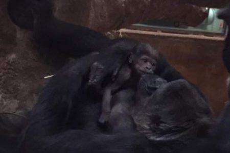 National Zoo welcomes 'incredible' birth of baby gorilla named Moke