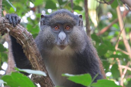 'Promiscuous' Monkeys Mate Outside Their Species, Create Hybrids