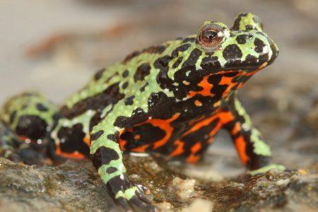 Frog-Killing Fungus Found to Have Origins on Korean Peninsula