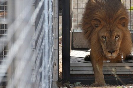 Man mauled by South African lion, graphic video shows