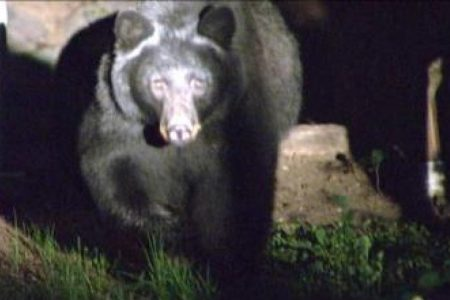 Colorado officials hunt for bear that dragged girl outside her home