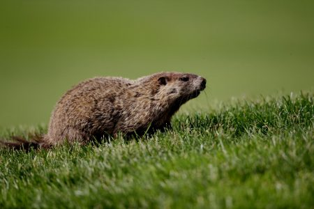 Groundhog Shot Dead by Sheriff's Deputy for Blocking Traffic