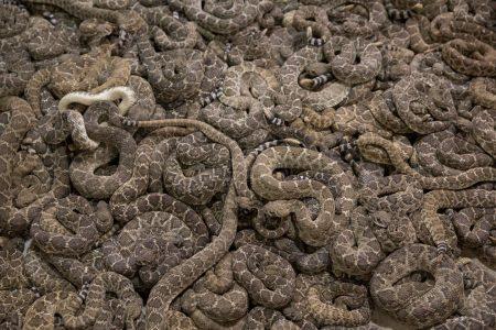 CDC Links Salmonella Case in Kansas to Rattlesnake Pills