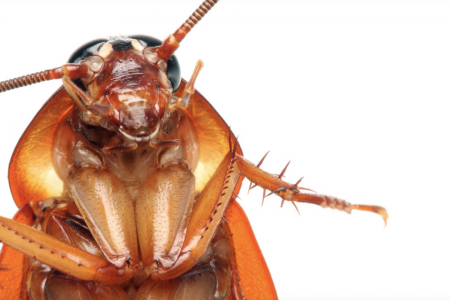 Is cockroach milk back as a superfood trend?