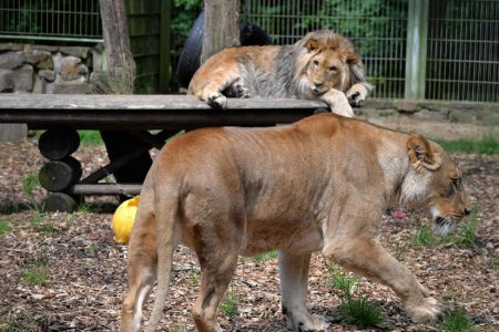 Lions, Tigers, a Jaguar and a Bear: Zoo Escape Grips Germany