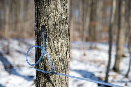 Cold Spring Prompts 22% Drop in Quebec Maple Syrup Production