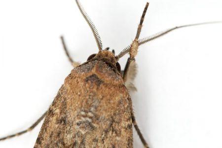 Magnetic Sense Helps Billions of Moths on an Australian Migration
