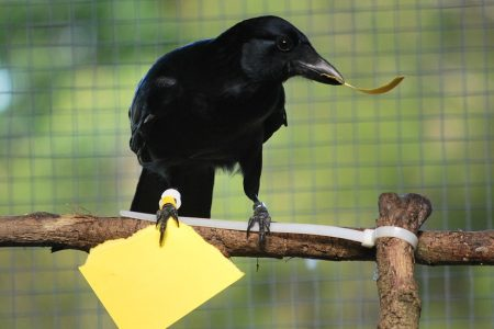 Crows Learn More About Toolmaking