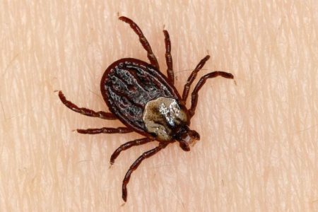 Can a tick really paralyze a person?