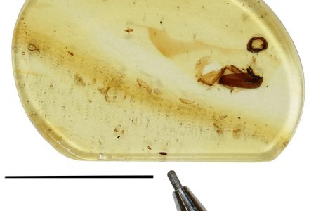 99 Million Year Old 'Gliding' Beetle Found Preserved in Amber