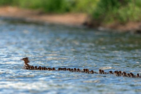 1 Hen, 76 Ducklings: What's the Deal With This Picture?