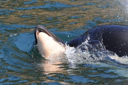Grieving Mother Orca Whale Carries Dead Calf For Days