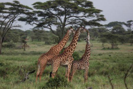 She said she killed this giraffe to save more giraffes