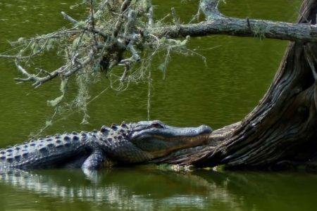 Mom dials 911 screaming her daughter's trapped in tree, surrounded by alligators