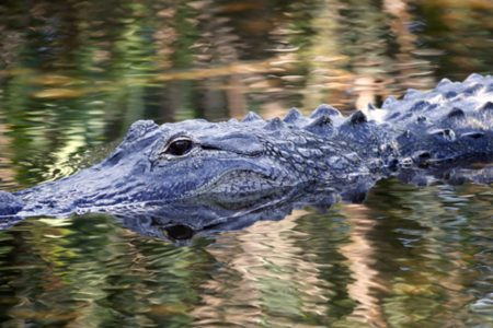Hissing alligator shot by deputy after girl forced to climb tree in Florida