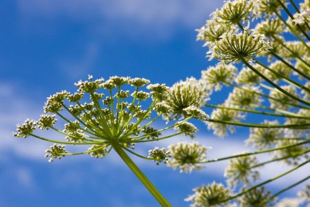 Giant Hogweed Plant Sends Virginia Teenager to Hospital with Third-degree Burns