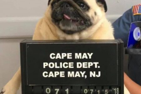 Bad Dog: Bean the Runaway Pug Has Mugshot Taken After Being Caught in New Jersey