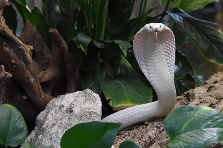 Michigan man hospitalized for rare cobra bite; officials scramble to find antivenom