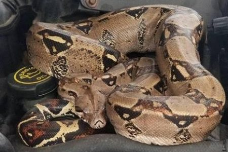 Massachusetts police capture 'jaw-dropping' boa constrictor from under car hood