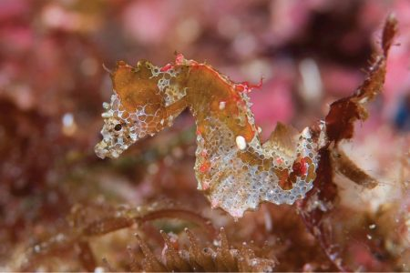 These new seahorses are so tiny that hundreds of them would fit in your hand