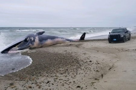 Enormous, dead whale washes ashore on Massachusetts beach