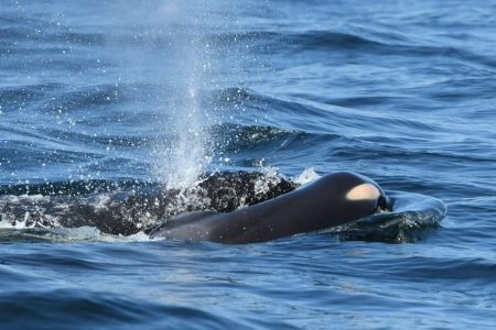 'It's heartbreaking': Killer whale continues carrying dead calf for 'unprecedented' length of mourning