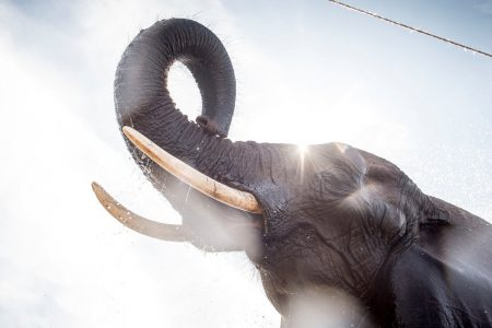 The 'Zombie Gene' That May Protect Elephants From Cancer