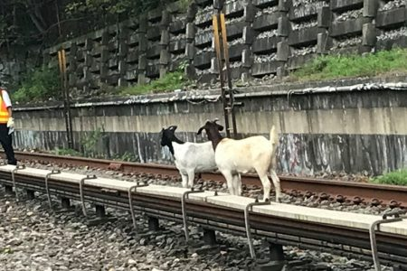 Not Your Average Subway Delay: Hungry Goats on the Tracks