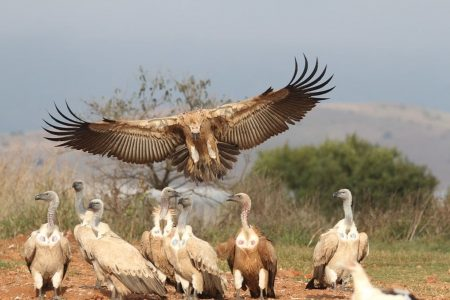 Violent hailstorm kills rare African vulture brought to the US to help save the species