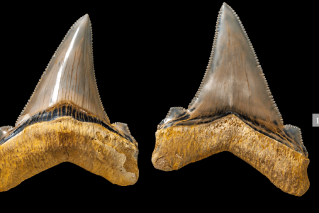 Teacher Finds Ferocious Prehistoric Shark Teeth From Megalodon Cousin on Beach
