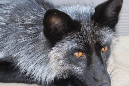 A Soviet-era experiment to tame foxes may help reveal genes behind social behavior