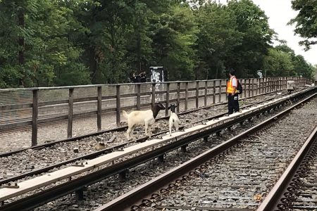 Runaway Goats May Have Caused the First Cute Subway Delay Ever