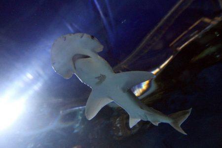 'Vegetarian' shark discovery: First omnivorous species of sea predator stuns scientists