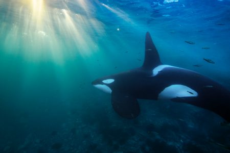 Killer Whales Face Dire PCBs Threat