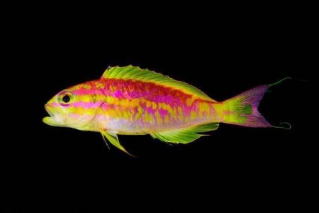 Punk Rock 'Aphrodite': Researchers Discover Mystery Neon Fish Deep in Twilight Zone Reef