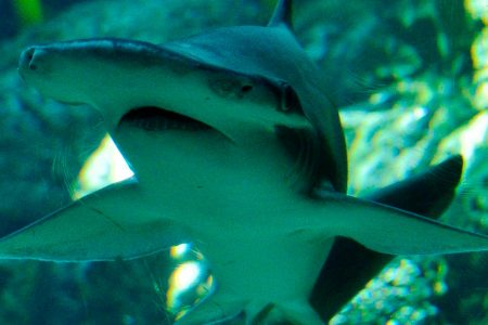 The bonnethead is the first known plant-eating shark, scientists say