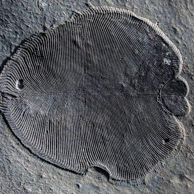 Earliest known animal was a half-billion-year-old underwater blob