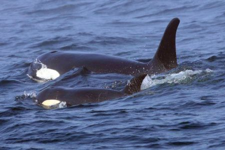 """A population marching toward extinction"": Missing orca feared dead"