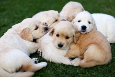 Puppies caused the Campylobacter outbreak across 18 states: What you need to know