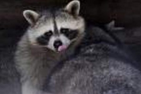 Three in Northwest DC attacked by rabid raccoon, officials say