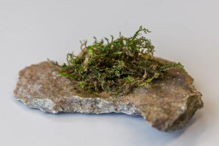Medical Marijuana: Moss-like Plant Acts like THC in Cannabis