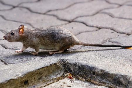 World's second human case of rat hepatitis discovered
